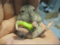 Hamster and Broccoli
